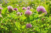 Summer Landscape With Flowers Of Clover Lit By Soft Sunlight At The Summer Meadow. Closeup Of Summer poster