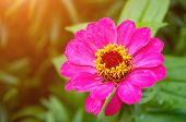 Zinnia Flower, Closeup View Of Sinnia Summer Flower In Summer Bloom. Flower Background With Summer Z poster
