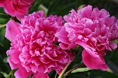 Blooming Pink Peonies, Flower Bush. Botany, Nature. poster