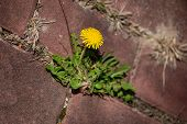 Photo Shows Some Weeds Growing On A Courtyard Dandelion And Grass poster