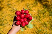 Bunch Of Freshly Harvested Round Radish In A Hand, Large Bunch Of Fresh Organic Vegetables, Raphanus poster