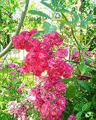 Flower In Garden On Sunny Summer Or Spring Day. Lovely Pink Flower In Nature. Colorful Flower For Po poster