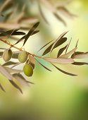 stock photo of healthy food  - Olive Tree - JPG