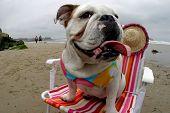 Bulldog At The Beach In A Bikini