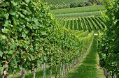 foto of foreshortening  - foreshortening of hilly vineyard with multiple lines of plants in a green rustic landscape - JPG