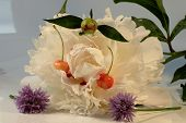 A White Bloom Of Paeonia Suffruticosa With Cherry And Blooms Of Chives On The White Background poster