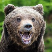 Closeup Brown Bear (ursus Arctos) Portrait In Spring Forest poster