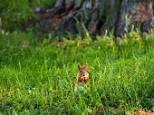 Ginger Squirrel Sits In Green Grass. Rodent Eating A Nut. Spring Natural Background. poster
