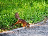 Ginger Squirrel In Green Grass. Rodent Is Seaching For Food. Spring Natural Background. poster