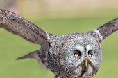 Great Grey Owl (strix Nebulosa). Close Up Of Face In Flight. The Largest Facial Disc Of All Birds In poster