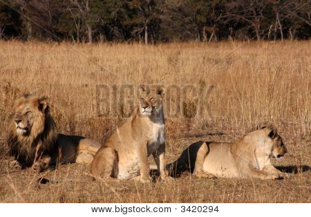 Pride Of Lions Relaxing
