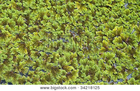 Water lettuce.