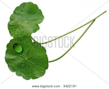 Two Pennywort Leaves