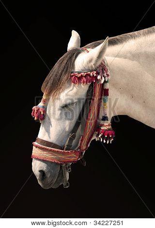 White horse resting