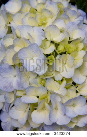 Purple & Yellow Hydrangea