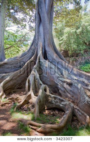 Moreton Bay Fig Tree 2