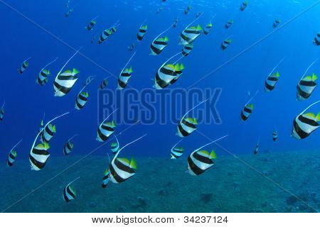 Tropical Fish in the Ocean: Schooling Bannerfish in the Red Sea