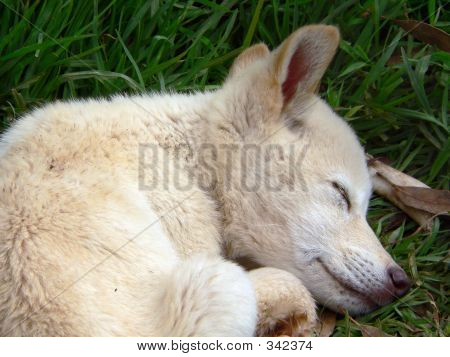 Dingo_pup_sleep