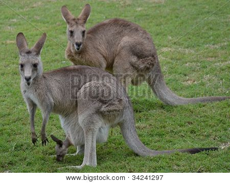 Two Australian Kangaroos with baby joey in pouch