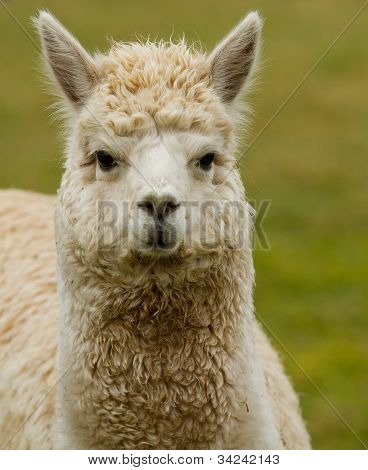 An Alpaca in a field