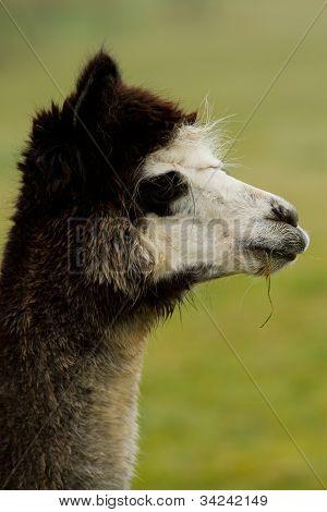 An Alpaca in a field