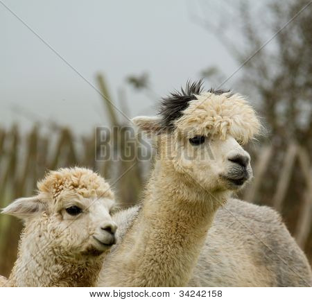 An Alpaca mother and child