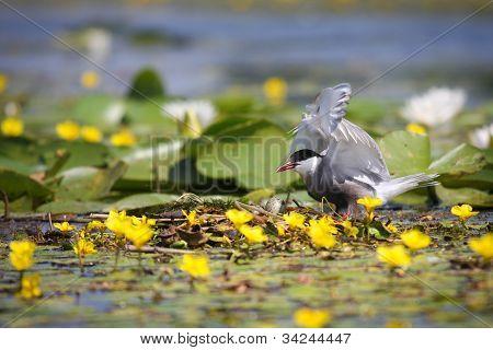 Adulto común charranes Sterna hirundo en el nido