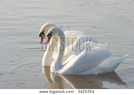 Two Swans Swiming On A Green Lake Surface