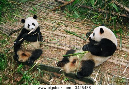 Panda'S Breakfast, Chengdu, China