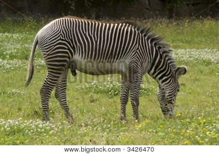 Damara Zebra