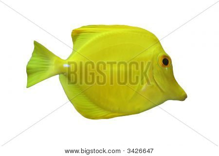Yellow Tang Isolated