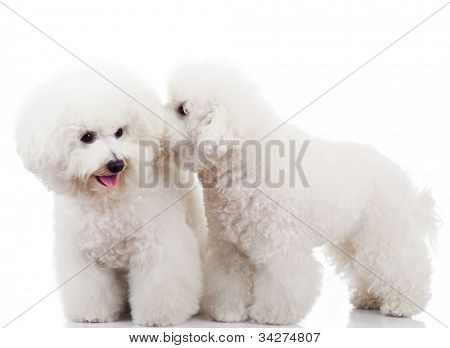 pair of adorable bichon frise puppy dogs playing and sniffing each other