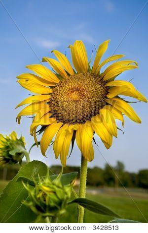 Sunflower On Blue Sky