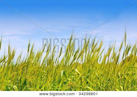 Balearic green wheat field in Formentera island under blue sky