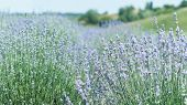 Lavender Flowers In Lavender Field. Summer Purple Lavender. Soft Focus Field For Background poster