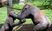 pic of swinger  - Two chimps playing tag enjoying the nice day at the zoo - JPG