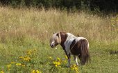 Brown Av White Pony Horse On Flowerful Meadow. Flowers And Grass. poster