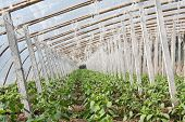 stock photo of stent  - Vegetable greenhouses internal view in north china - JPG