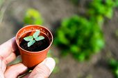 A Young Flower Seedling In A Pot Against The Background Of A Flower Bed. Spring Sprout, Gardening. M poster