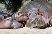 stock photo of hippopotamus  - Hippopotamus mother father and a baby resting - JPG
