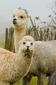 stock photo of alpaca  - An Alpaca mother and baby in a field - JPG