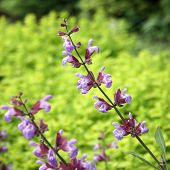 picture of clary  - The medicinal plant Salvia officinalis blooms in the garden - JPG