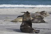 Male Southern Sea Lion (otaria Flavescens) Among A Group Of Southern Elephant Seal (mirounga Leonina poster