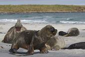 Male Southern Sea Lion (otaria Flavescens) Among A Breeding Group Of Southern Elephant Seal (miroung poster