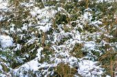 Snow On Green Thuja Branches In The Sunlight. Green Branches Of A Thuja Tree Covered With White Snow poster