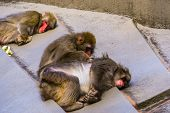 Japanese Macaque Couple Grooming Each Other, Typical Social Primate Behavior, Tropical Monkey Specie poster
