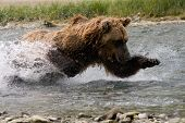 picture of denali national park  - Girzzly bear chasing down dinner in Alaska - JPG