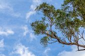 Australian Sulphur Crested Cockatoo Sitting Alone In A Tree With Blue Sky And Light Clouds poster