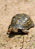 pic of the hare tortoise  - Box turtle walking on dry and arid ground - JPG