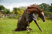stock photo of splayed  - Chestnut horse in a sitting position while in the process of standing - JPG